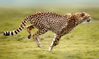 A speedy African cheetah running in the grass.
