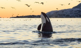 At sunset, an orca is breaching so that its head and front flippers are at the ocean's surface.