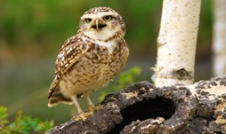 A burrowing owl standing on a hollow log.
