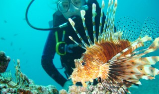 A lion fish being watched by a female scuba diver.