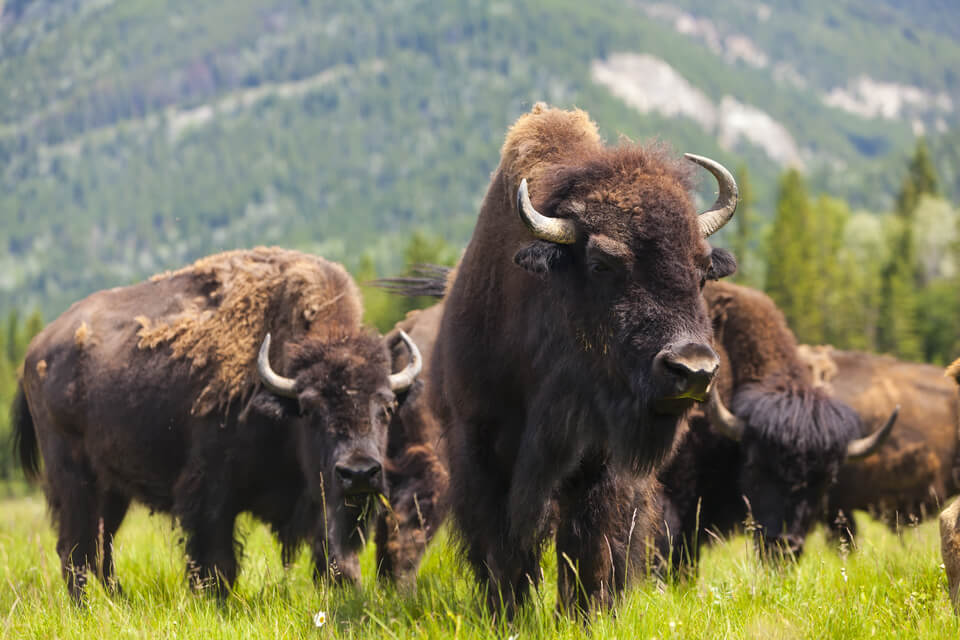 a herd of buffalo standing in the grass