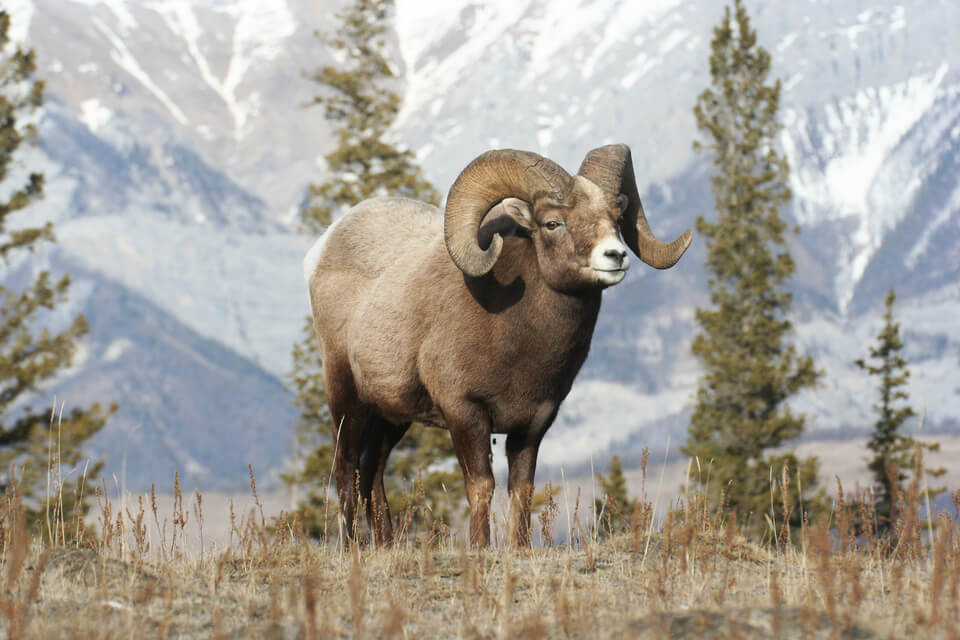 a bighorn sheep standing on a hill in the rocky mountains
