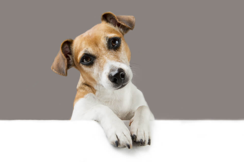 Adorable dog Jack Russell terrier
