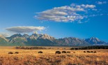 Bison Herd and Teton Mountain Range
