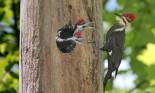 Pileated woodpecker (Dryocopus pileatus) and nestlings