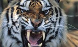 Tiger (Panthera tigris) snarling, close-up