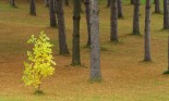 Small tree with yellow leaves in a forest with taller pine trees in Vermont, USA