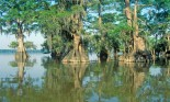 Cypress trees in the Bayou, Lake Fausse Pointe State Park, Louisiana, USA