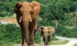 Mother and baby elephant walking