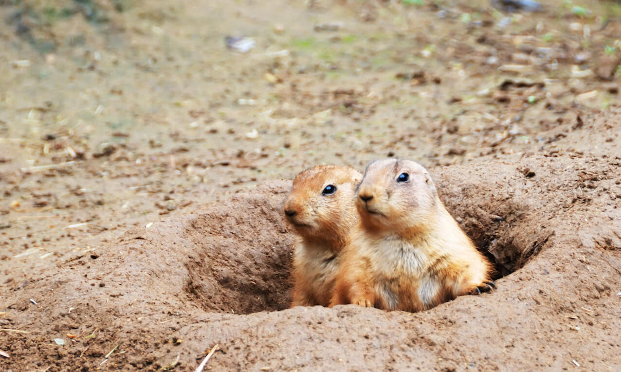Two black-tailed prairie dogs (Cynomys ludovicianus) sticking out from a burrow