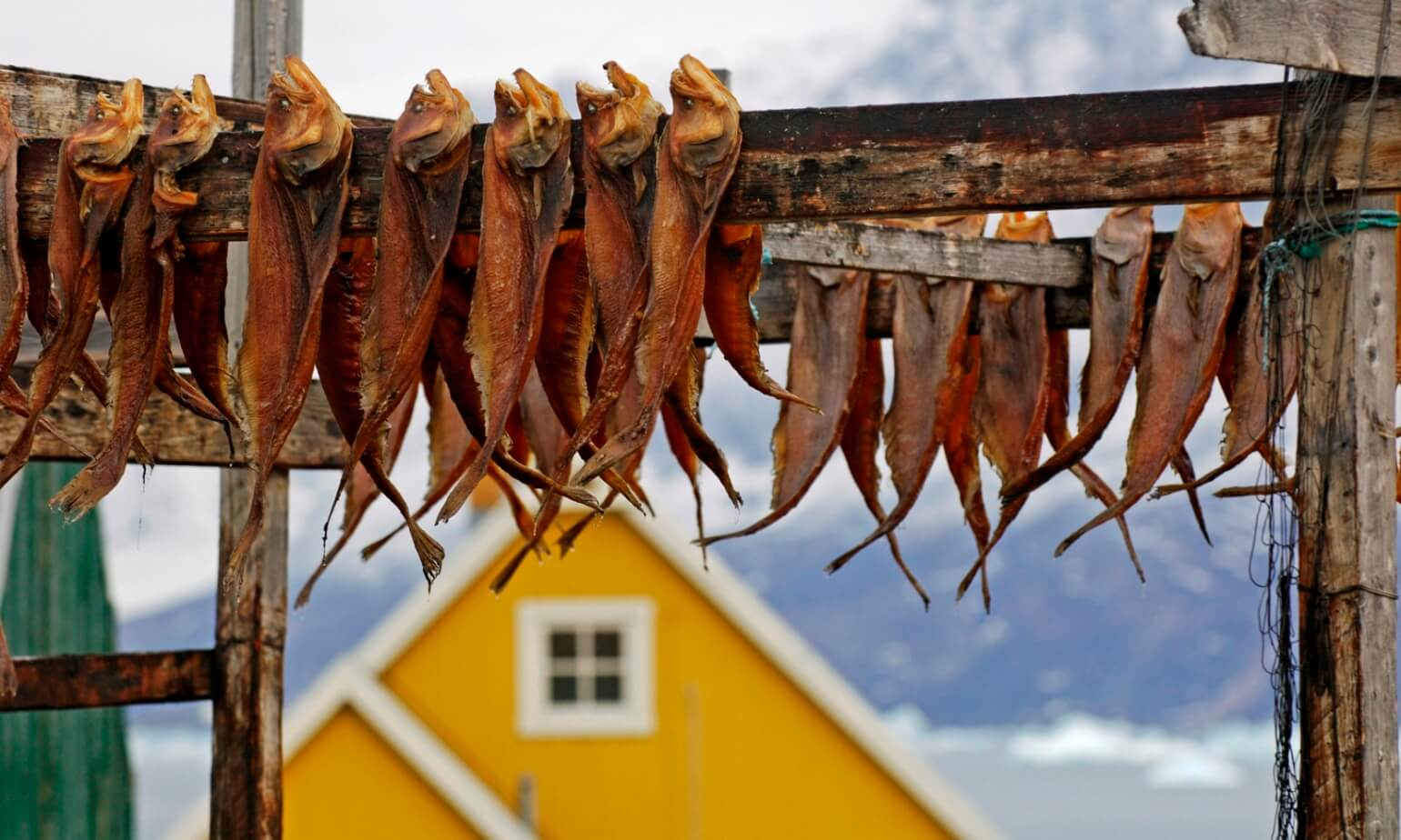 Dried cod hanging outside on the Arctic island of Uummannaq off the west coast of Greenland