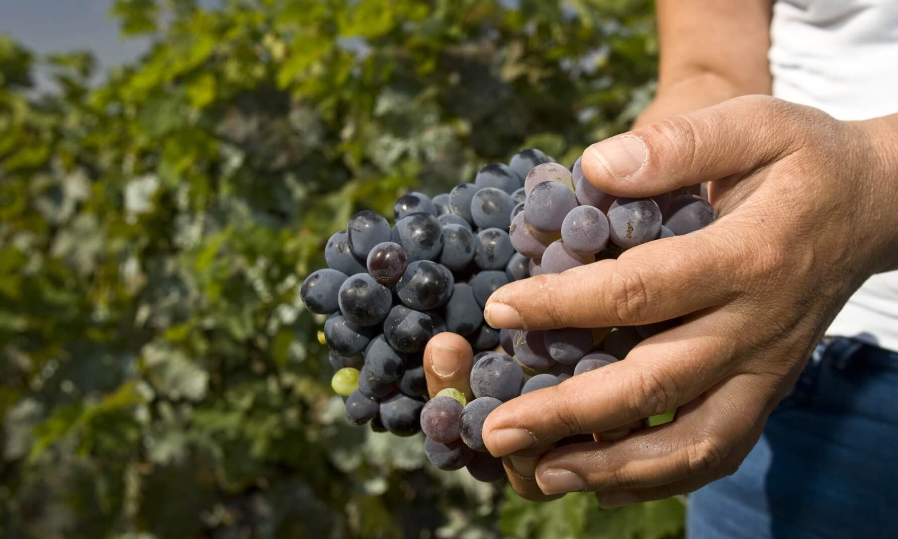Hard-working hands holding a bunch of grapes outdoors