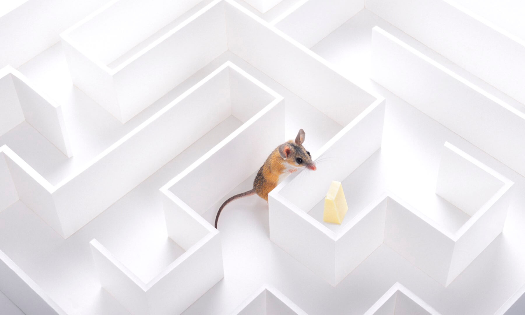 Rodent and cheese in a maze