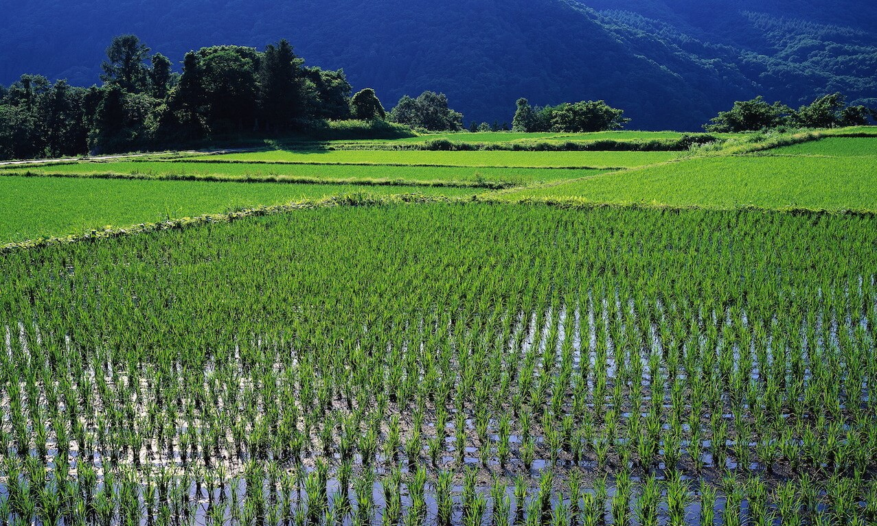 Rice fields, Gunma, Japan