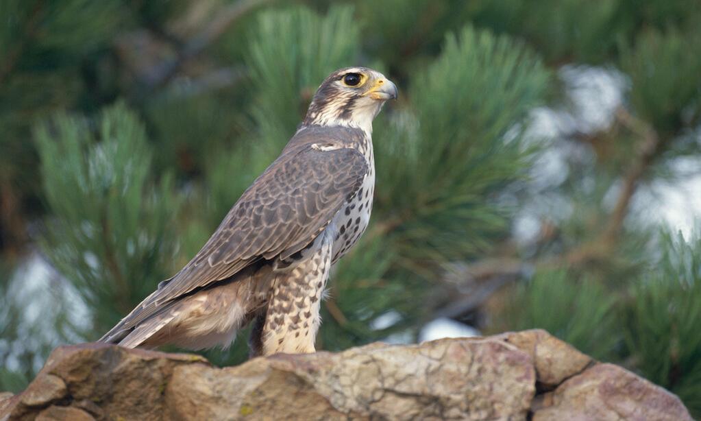 Prairie falcon (Falco mexicanus) on rock in North America