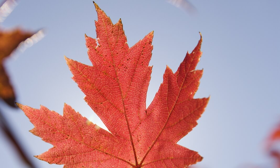 Single red autumn maple leaf with blue sky in background.