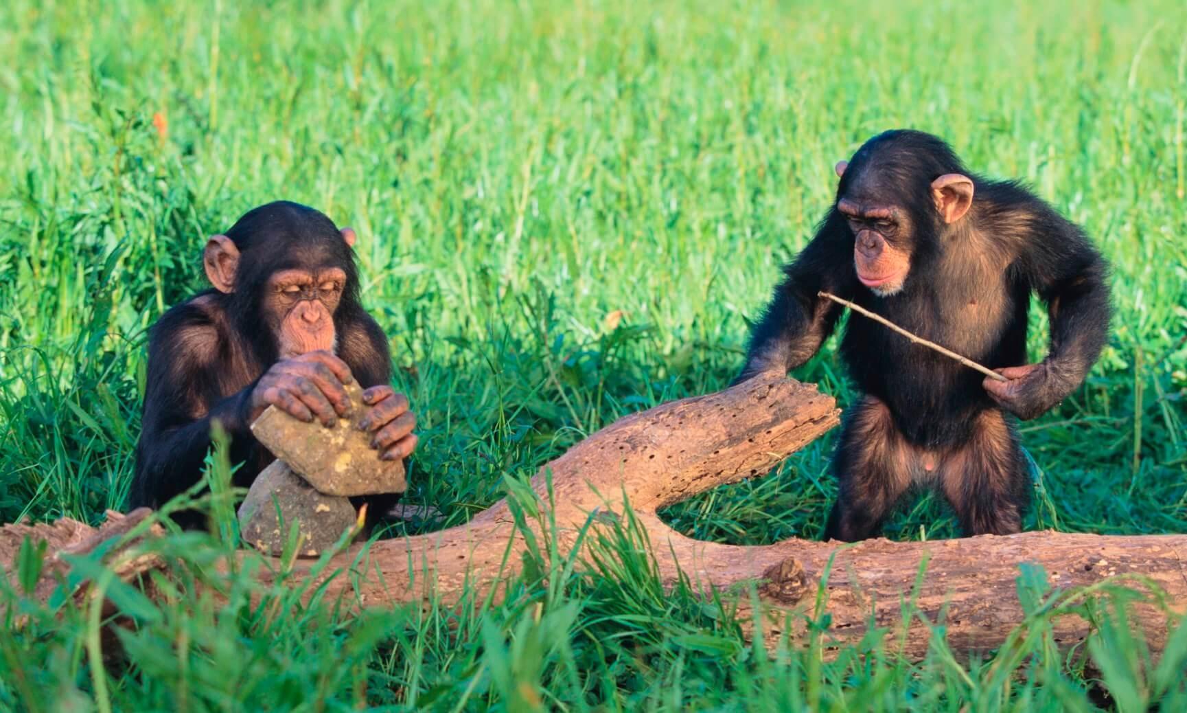 Chimpanzees using rocks and sticks