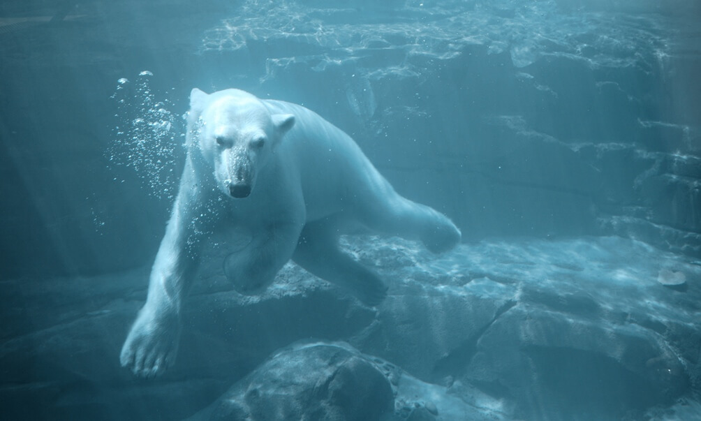 Polar bear under blue water