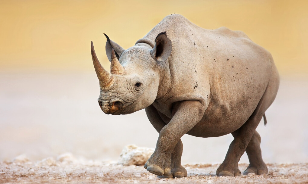 Black Rhinoceros walking on salty plains