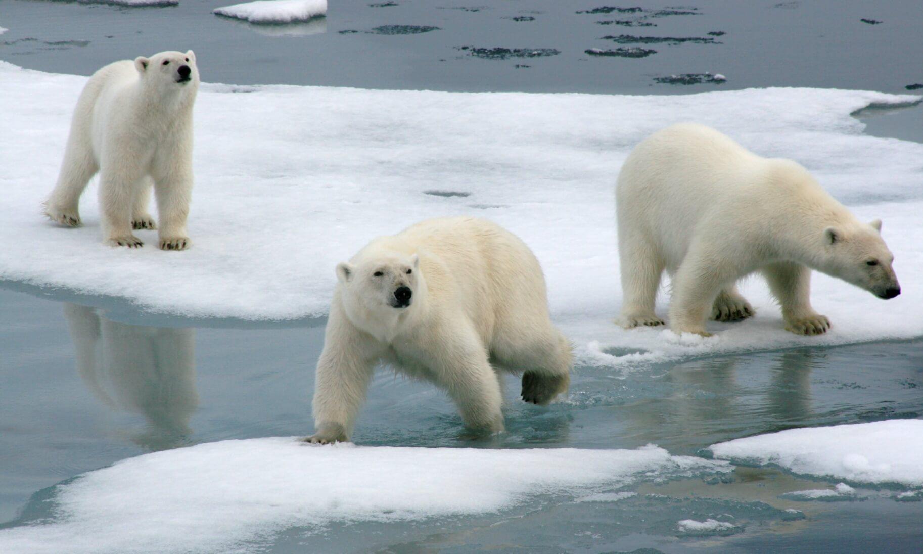 Polar bear mother and yearling cubs on the pack-ice