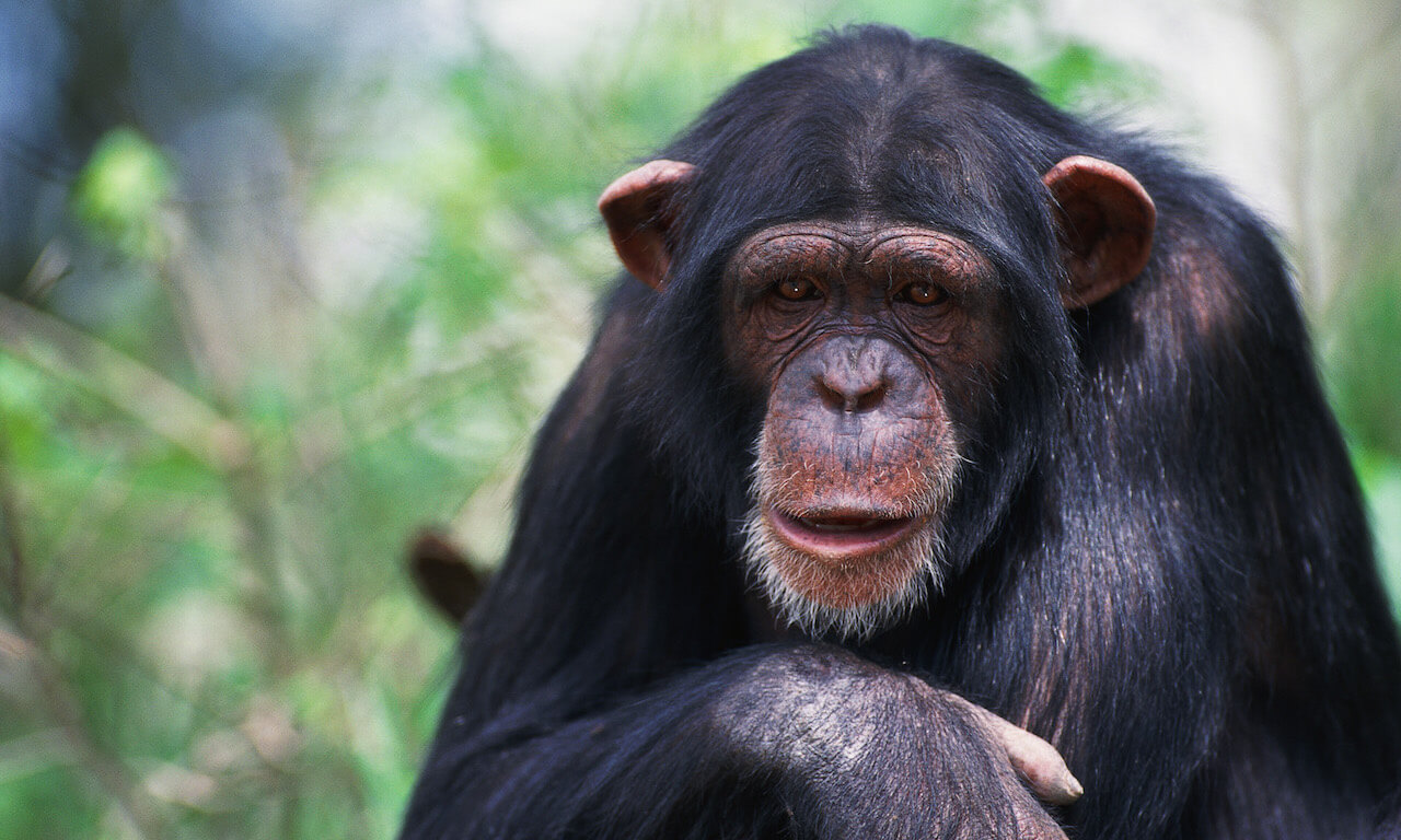 Close up of chimpanzee