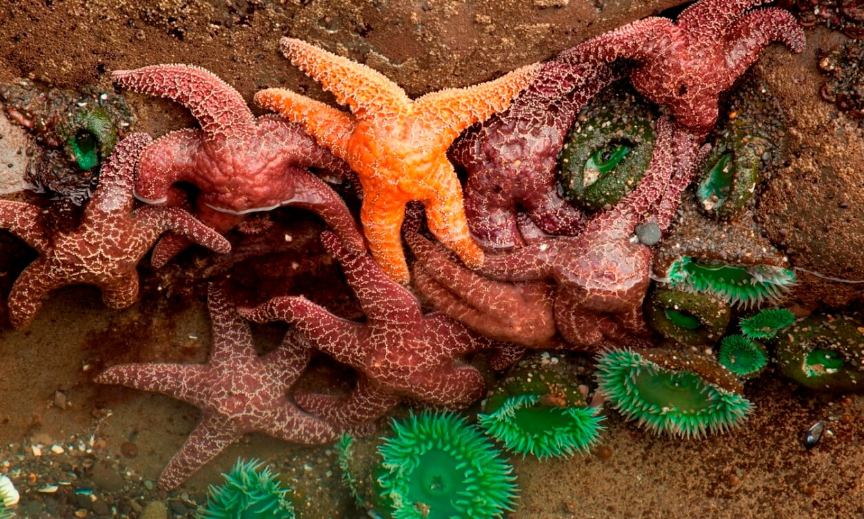 Starfish and anemones in tide pool, Olympic National Park, Washington