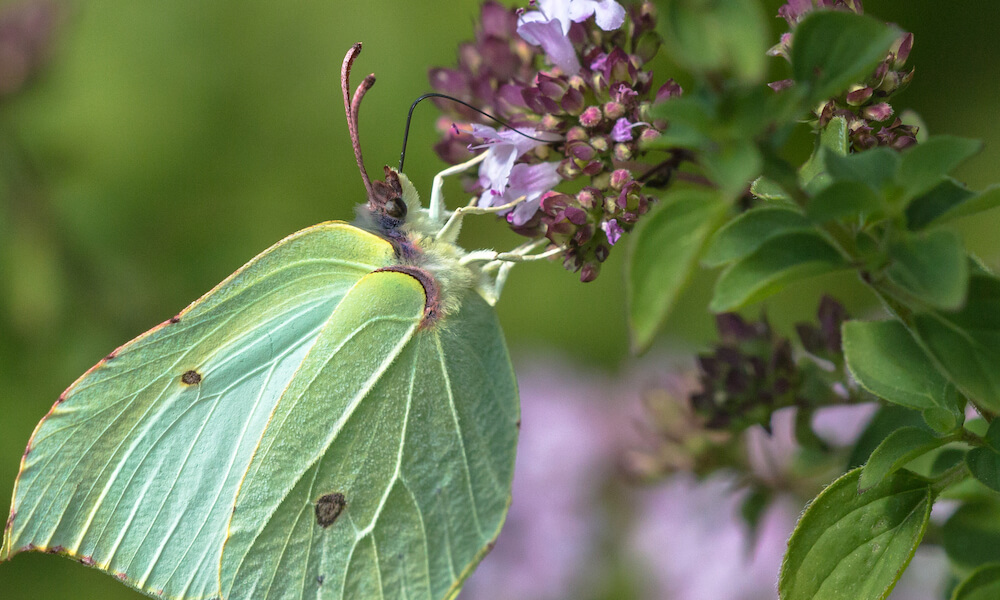 Close-up of a brimstone butterfly (Gonepteryx rhamni)