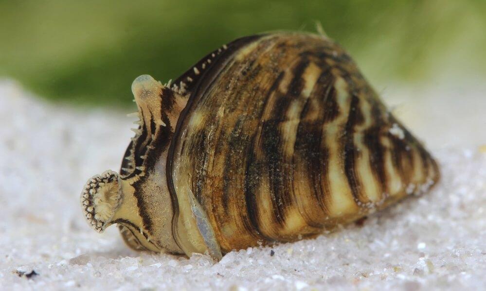 Zebra mussel (Dreissena polymorpha) in pond