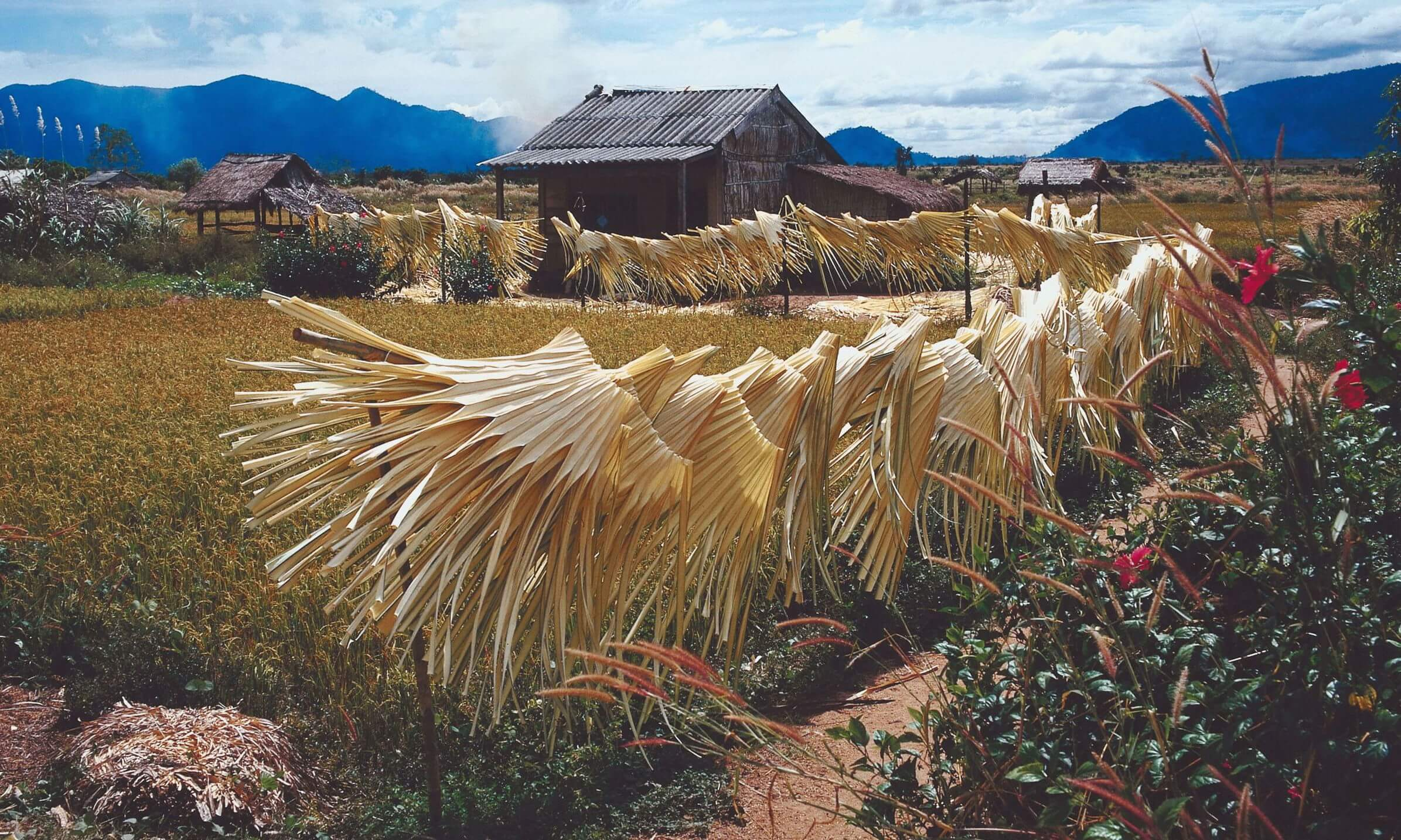 Farm growing Raffia grass in Vietnam