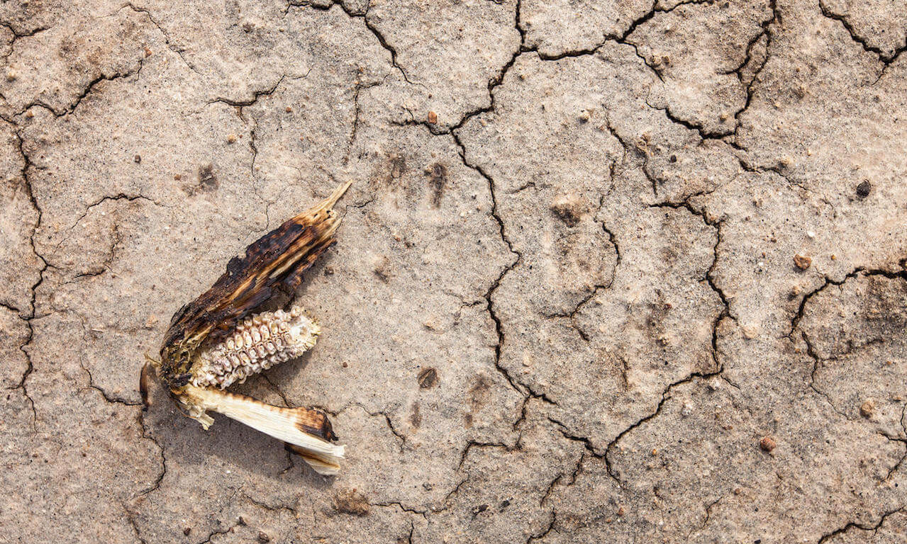Dry maize on cracked desert earth in Chikwawa District, southern Malawi, during the severe drought of 2016 caused by El Nino