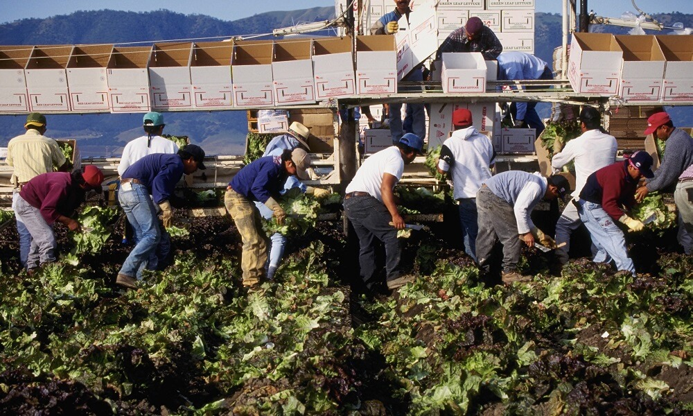 Harvesters Picking Lettuce