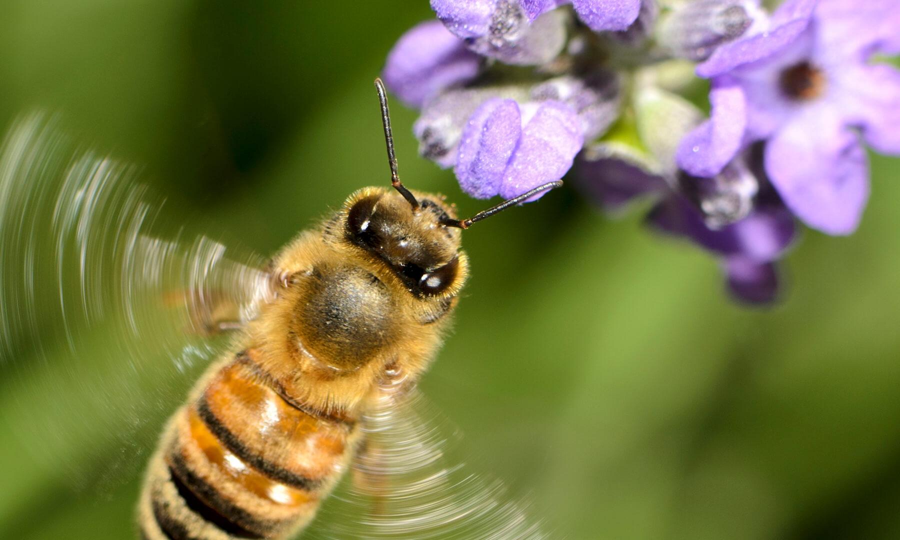 Flying Honey Bee (Apis mellifera) Landing on Purple Flowers
