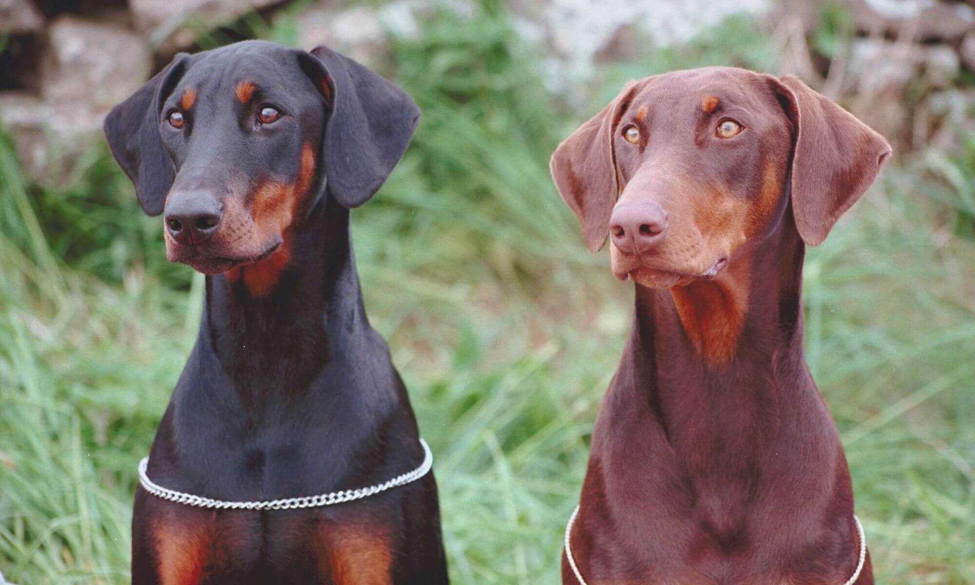 Portrait of two Doberman pinschers
