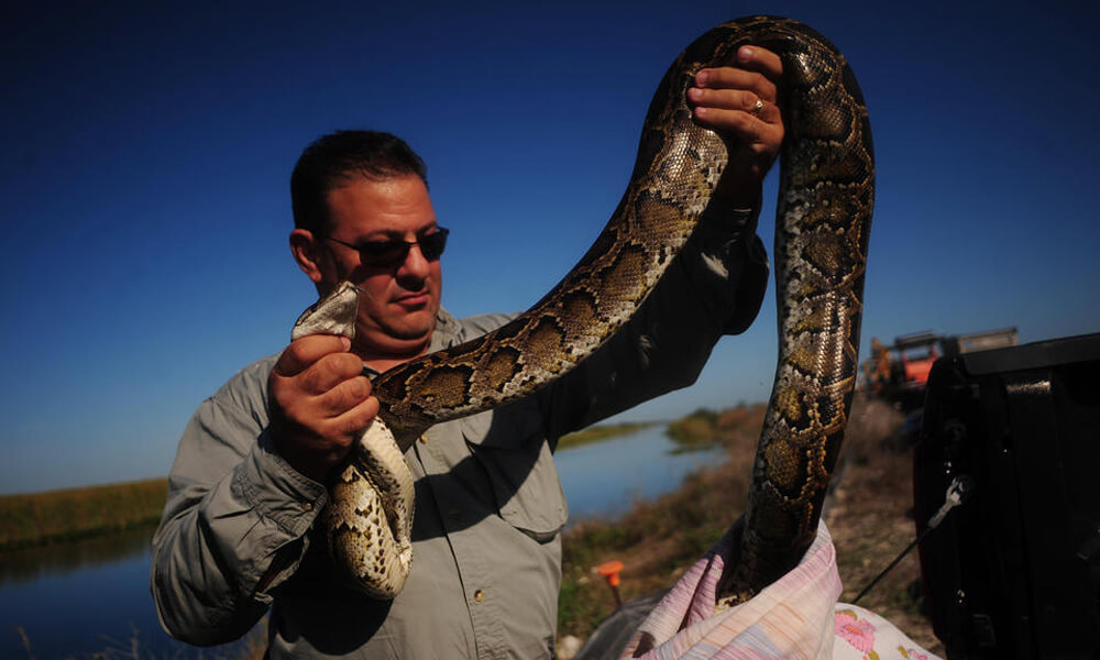 A snake hunter holds an 11-foot Burmese Python in the Florida Everglades