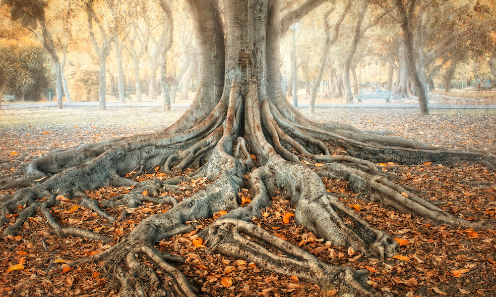 Ancient tree with spreading roots