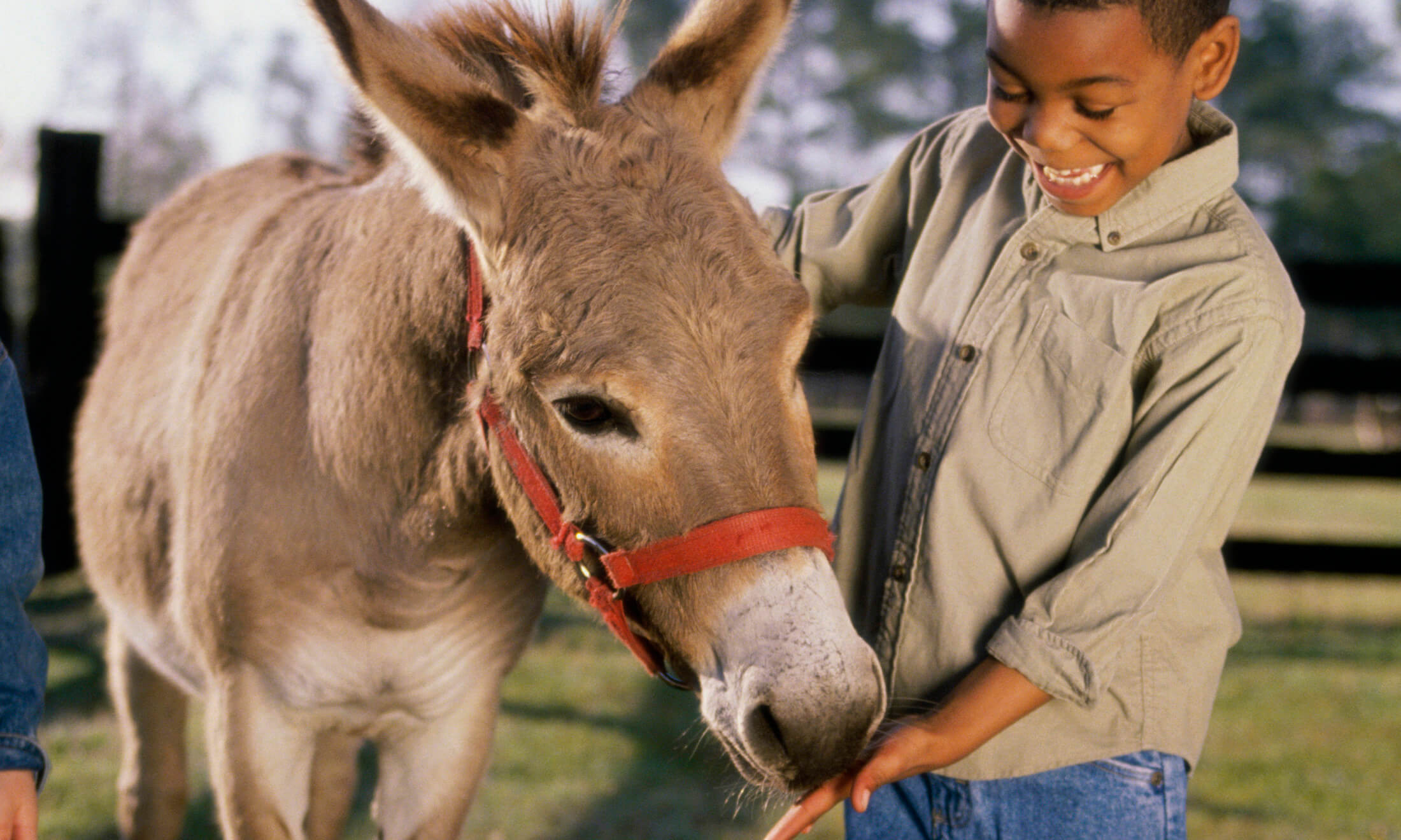 Boy feeding a donkey