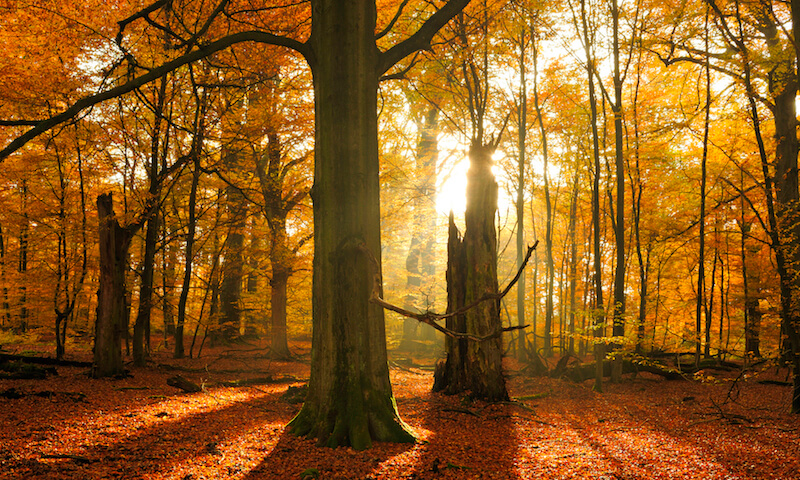 Backlit beech tree forest with sunbeams in Autumn