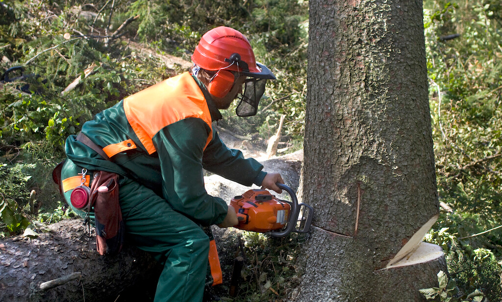 Forestry worker with chainsaw cutting down tree