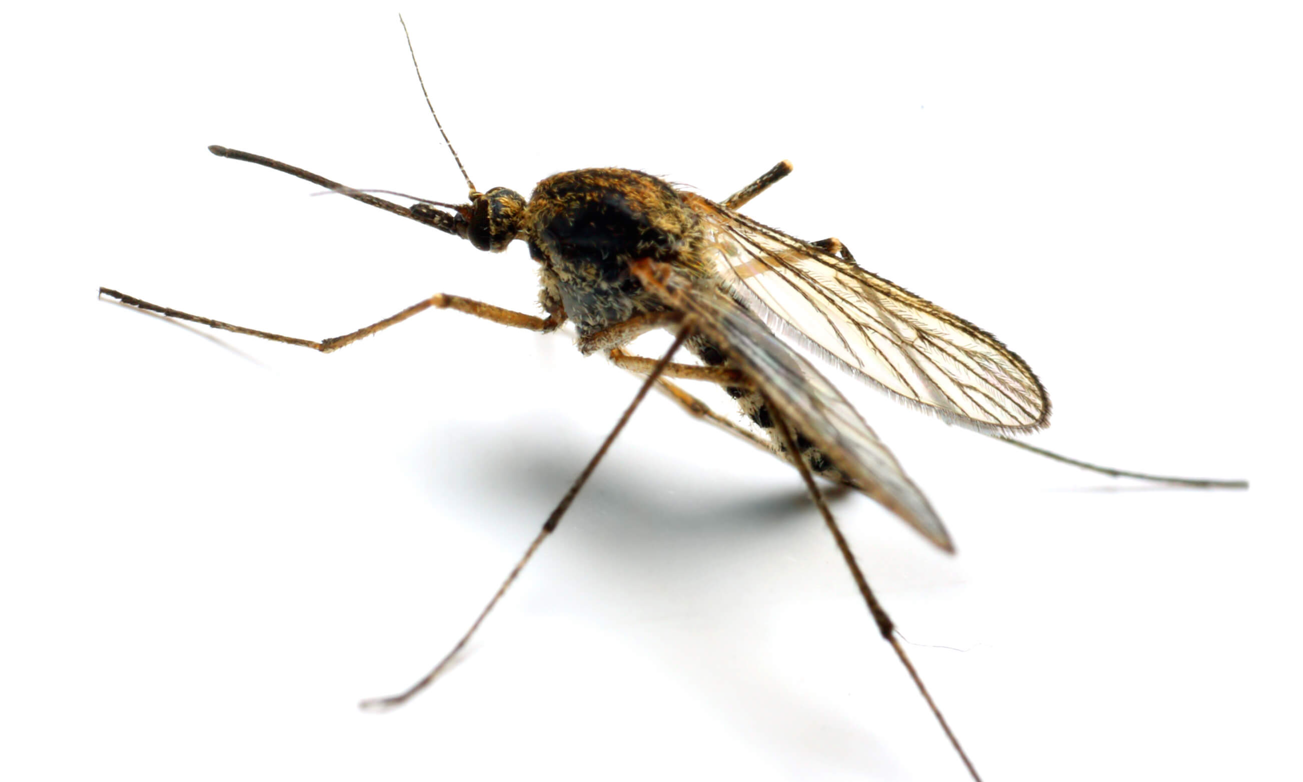Anopheles mosquito, a dangerous vehicle of infection