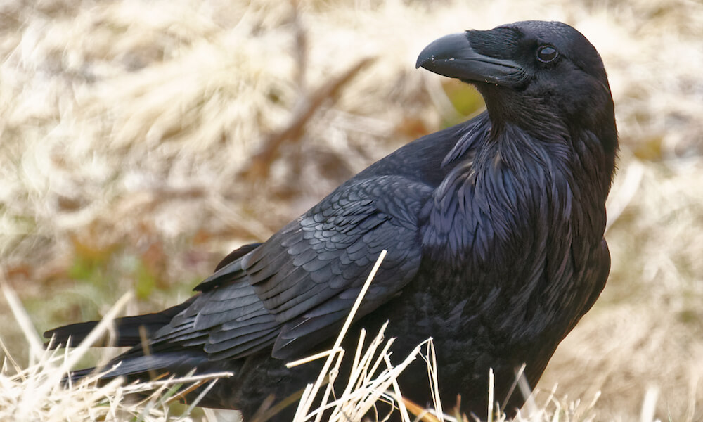 Common raven standing on ground showing a beautiful feather pattern seldom seen