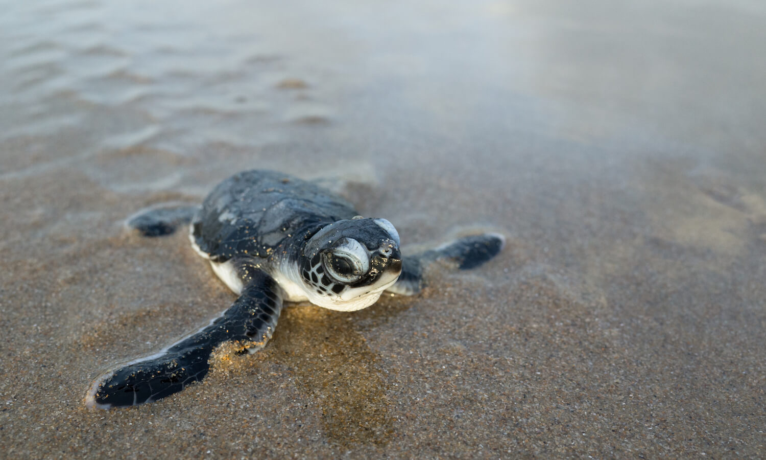 Newborn hatchling green sea turtle crawls across a beach toward the Arabian Sea for its very first time. Shela, Lamu Island, Kenya.