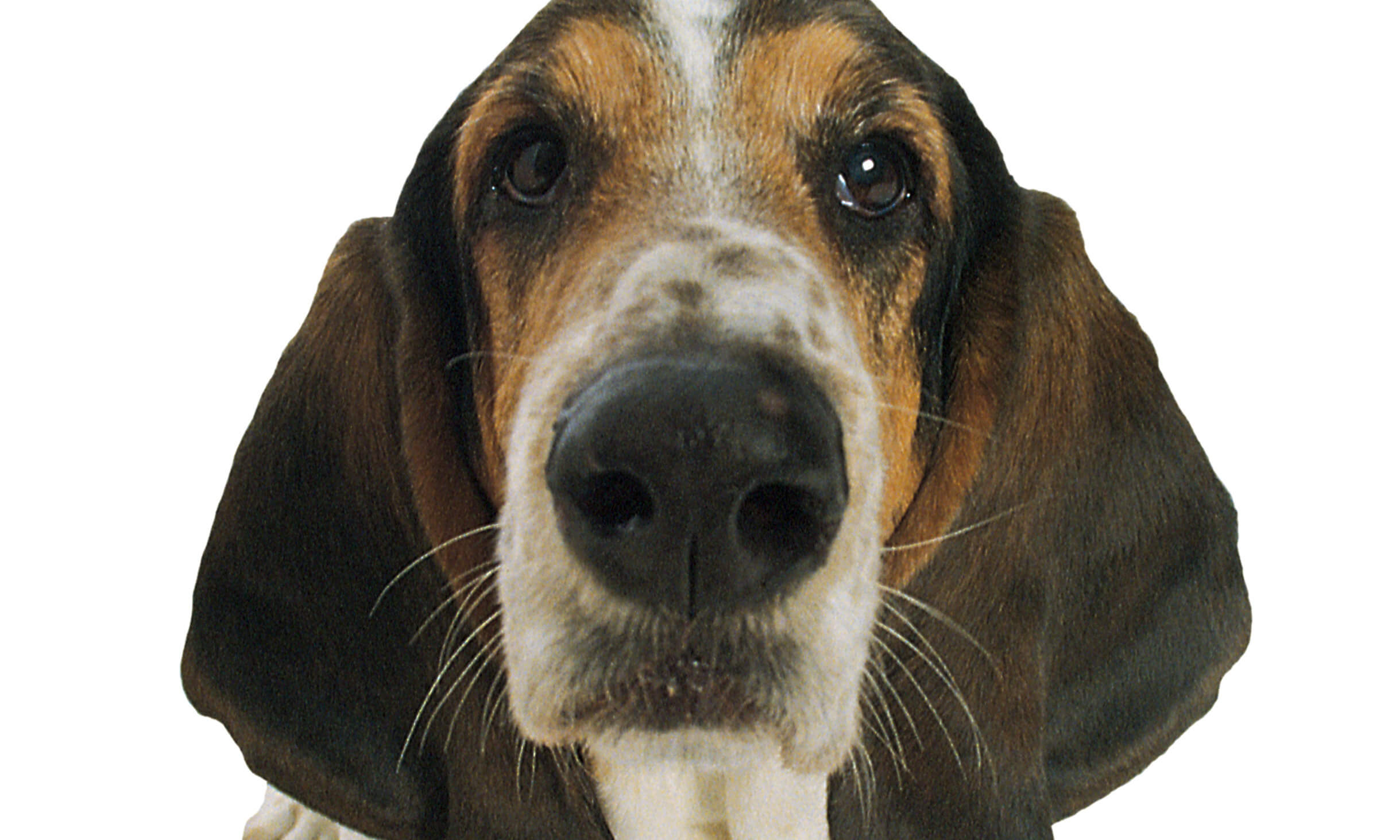 Basset Hound looking at camera
