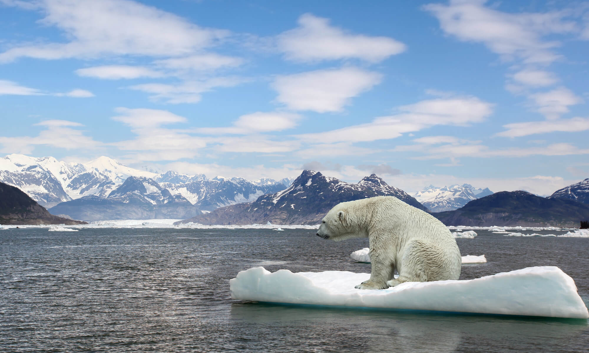 Polar bear on ice, global warming