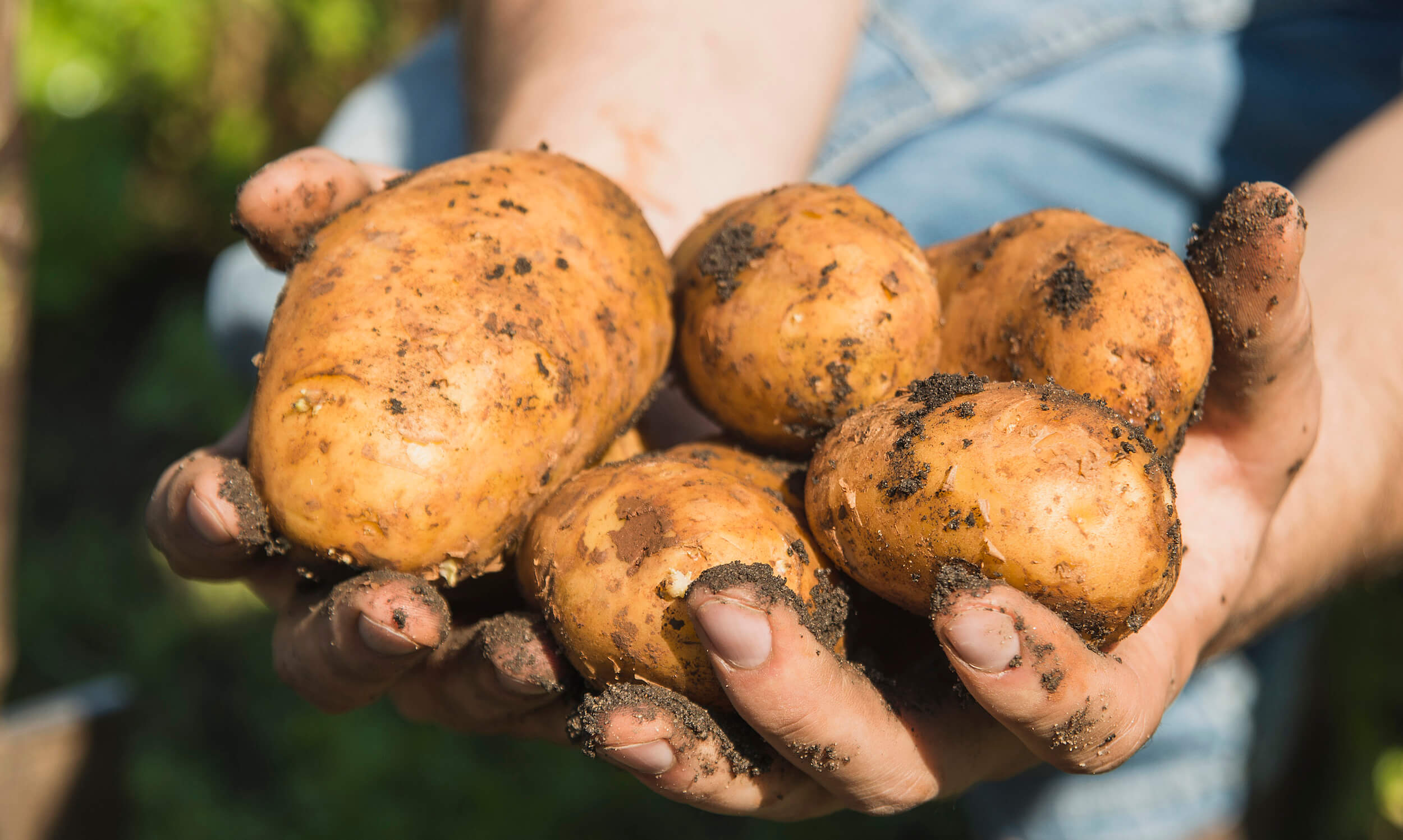 Gardener holding freshly dug potatoes