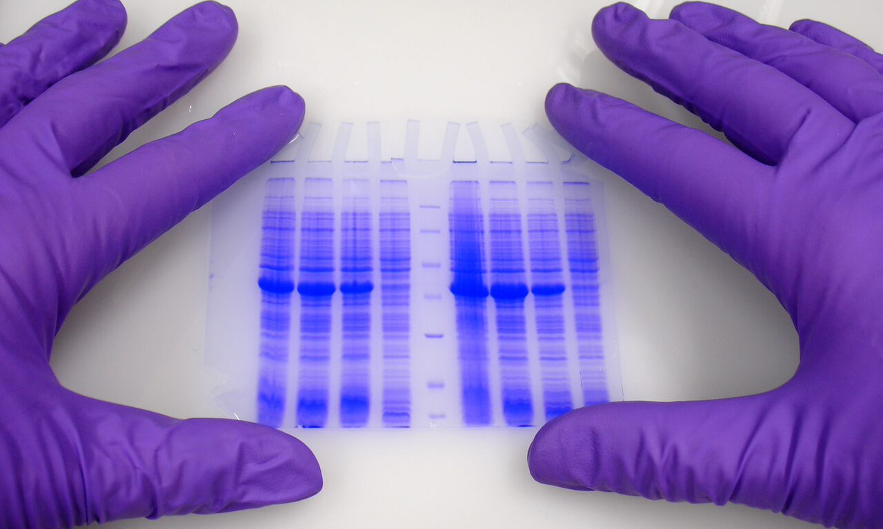 Hands in protective gloves hold blue-stained electrophoresis gel.