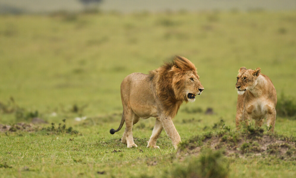 A male and female African lion in a savannah in Masai Mara Game Reserve, Kenya