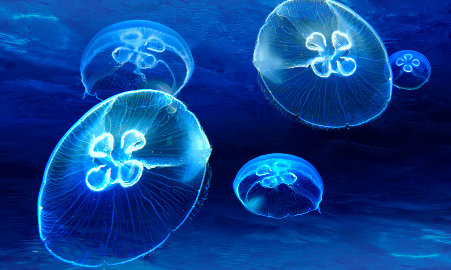 Jellyfish glow with self-luminous light underwater below the ocean surface