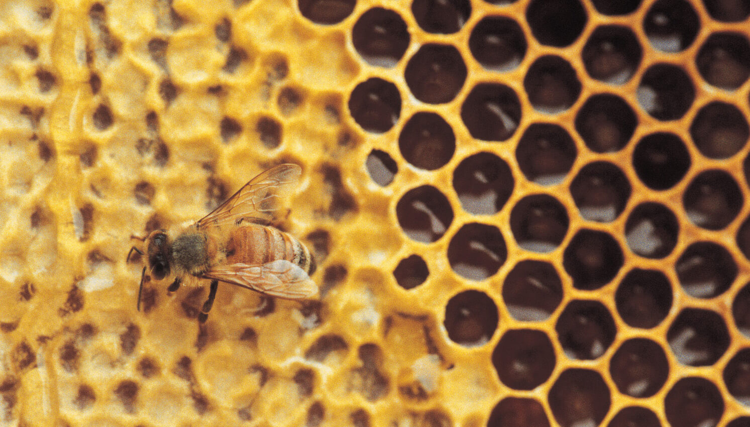 Close-up of a bee working on a honeycomb