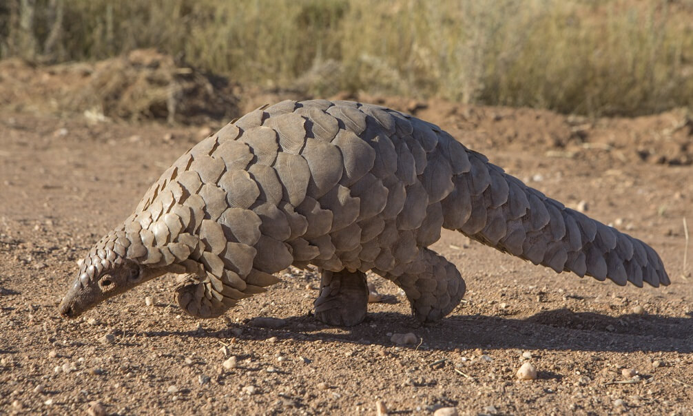 Pangolin (scaly anteater) searching for ants