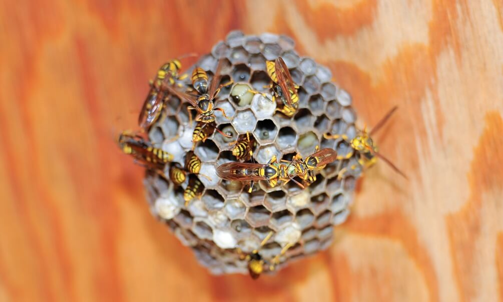 "Asian giant hornet or Japanese giant hornet (Vespa mandarinia japonica). In Japanese it is known as the oosuzumebachi literally ""giant sparrow bee""."